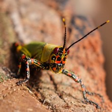Congo photo grasshopper